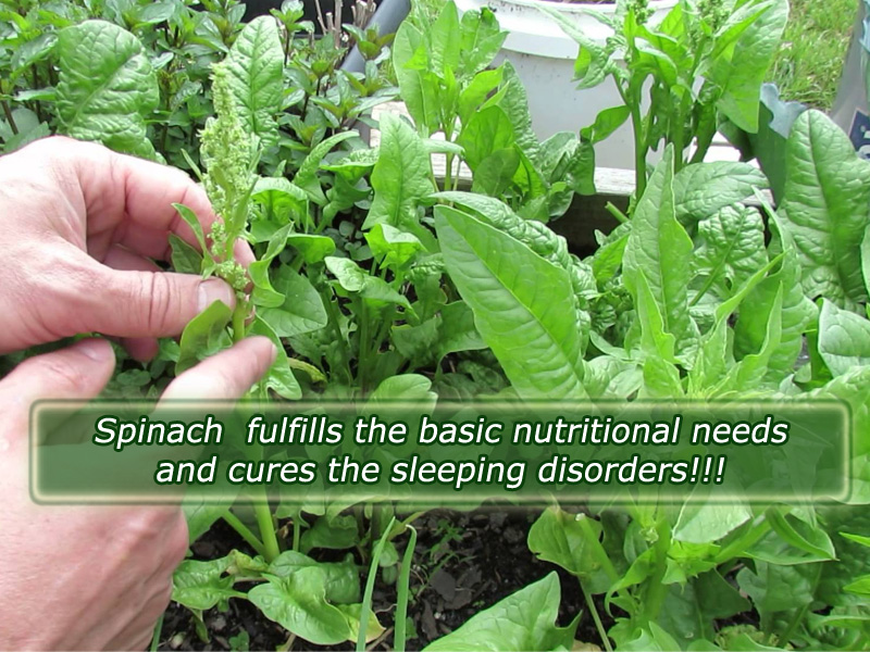 Spinach Fulfills the basic nutritional needs and cures the sleeping disorders